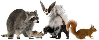 Hampton Roads Animal Control - Hampton Roads Animal in Attic - Hampton Roads Pest Removal