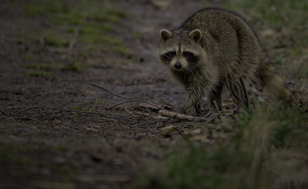 Raccoon in Attic Hampton Roads - VA Raccoon Removal - Virginia Raccoon Problem